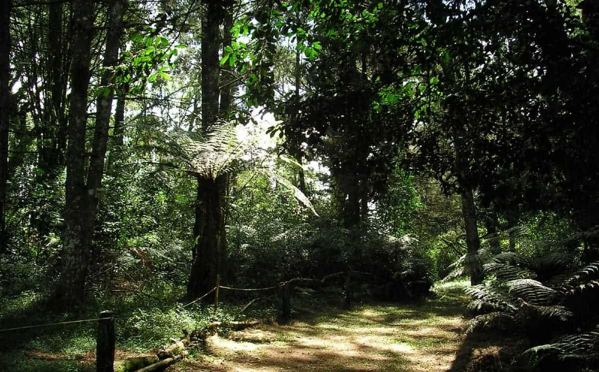 árvores sequoias em Canela
