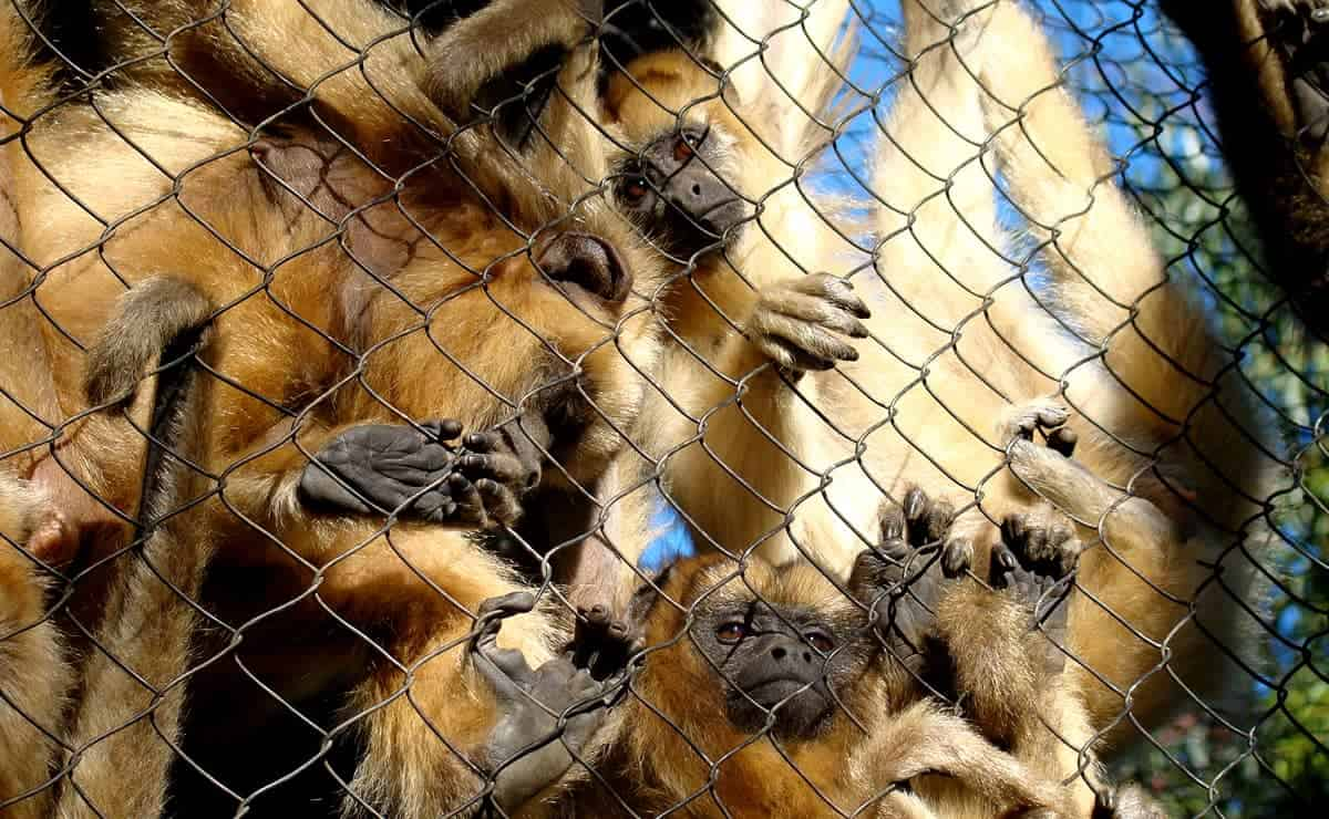 mico leão dourado no zoológico de gramado
