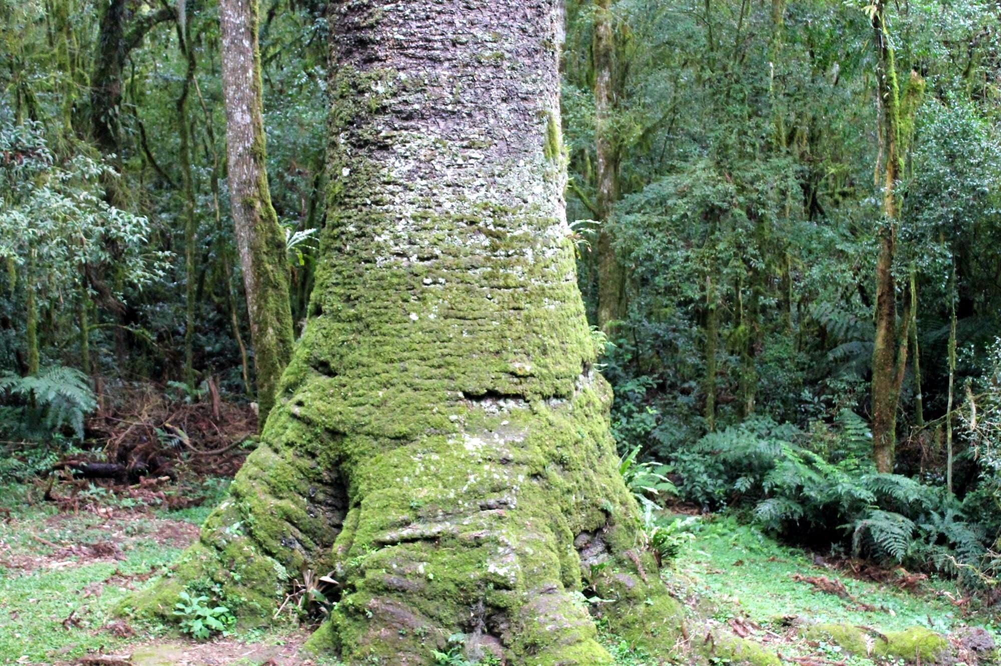 tronco do pinheiro