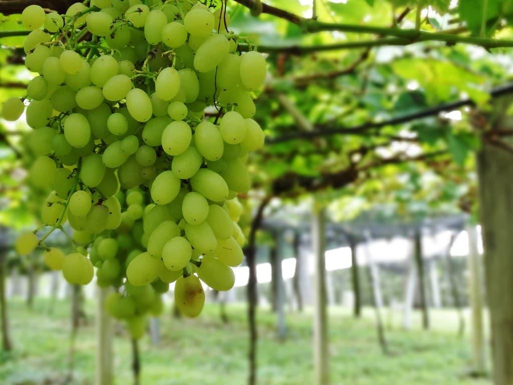 uvas em vinícolas